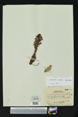 Orobanche cooperi image