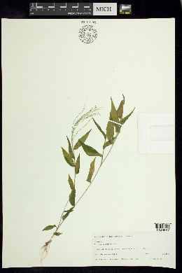 Panicum trichoides image