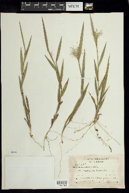 Image of Panicum contractum