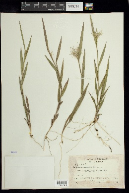 Image of Panicum cyanescens
