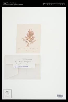 Chylocladia verticillata image
