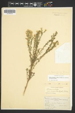 Symphyotrichum falcatum var. crassulum image