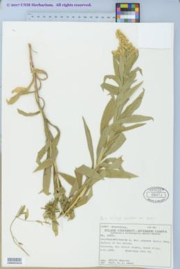 Solidago canadensis var. scabra image