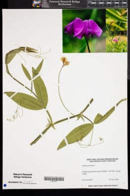 Image of Lathyrus sylvestris