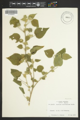 Abutilon californicum image