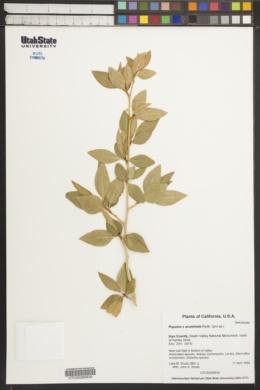 Image of Populus x acuminata