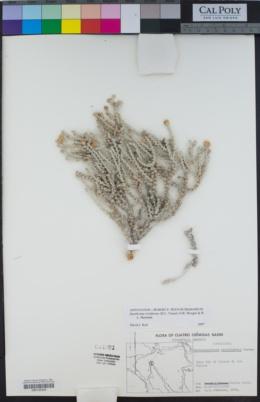 Image of Xanthisma restiforme