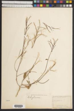 Image of Oenothera deserti