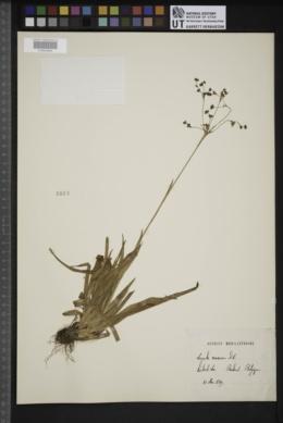 Luzula sylvatica subsp. sylvatica image