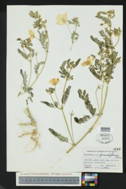 Kallstroemia grandiflora image