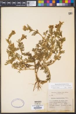 Glandularia bipinnatifida var. bipinnatifida image