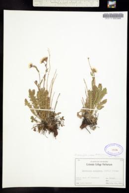 Image of Acomastylis rossii