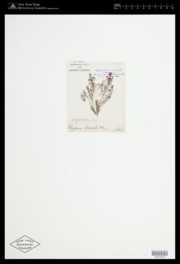 Image of Polysiphonia dichocephala