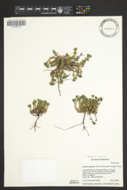 Houstonia wrightii image