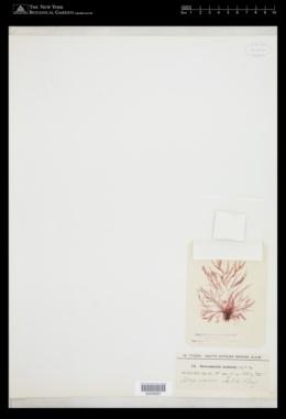 Platysiphonia delicata image