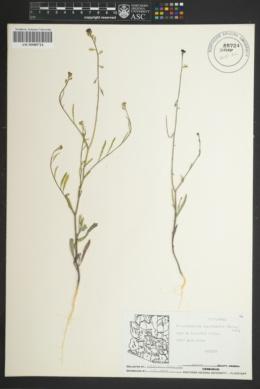 Streptanthella longirostris image