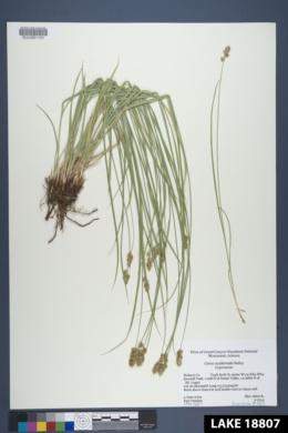 Carex occidentalis image