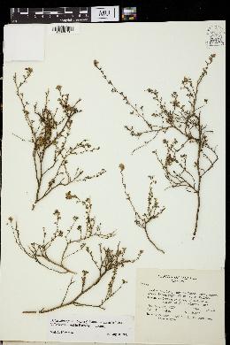 Image of Dalea minutifolia