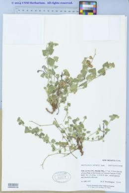 Aristolochia wrightii image