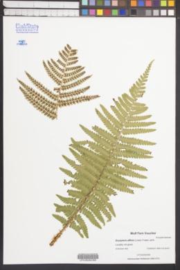 Image of Dryopteris affinis