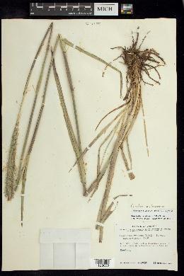Image of Cenchrus michoacanus