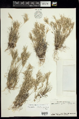 Danthonia secundiflora image