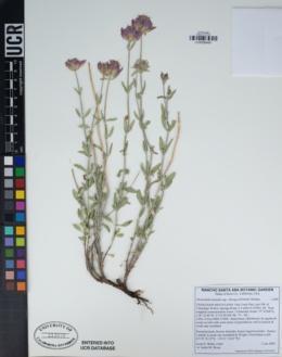 Monardella linoides subsp. oblonga image