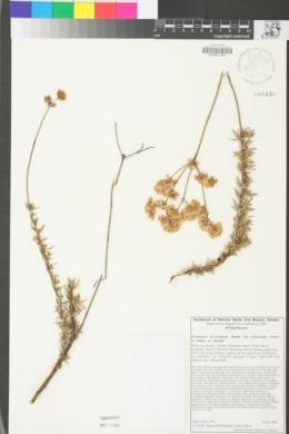 Eriogonum fasciculatum var. foliolosum image
