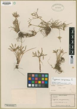 Image of Cyperus compressus