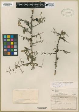 Phaulothamnus spinescens image