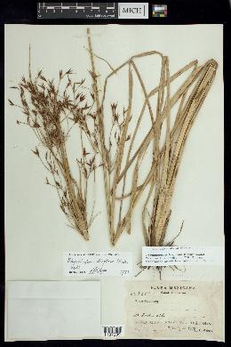Image of Rhynchospora trispicata