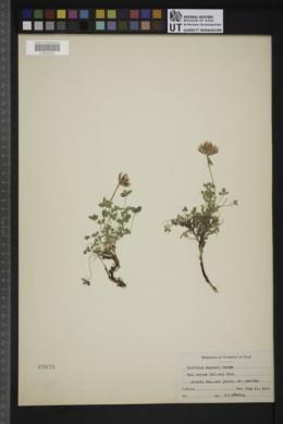 Trifolium haydenii image