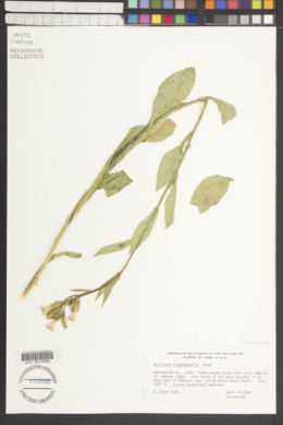Nicotiana obtusifolia var. obtusifolia image