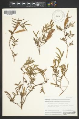 Calliandra humilis image
