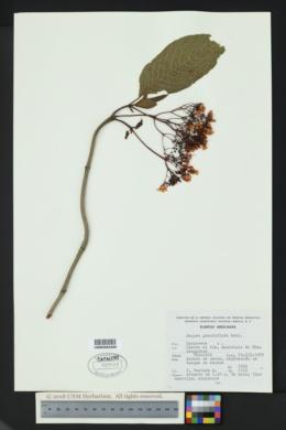 Deppea grandiflora image