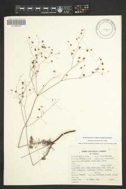 Eriogonum arizonicum image