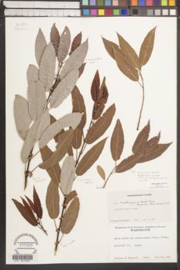 Salix prolixa image