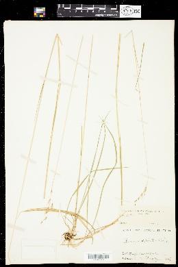 Image of Danthonia alpina