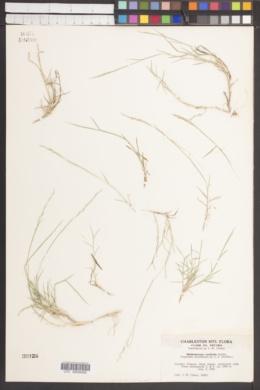 Muhlenbergia curtifolia image