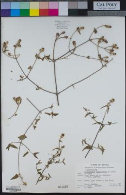 Chromolaena sagittata image
