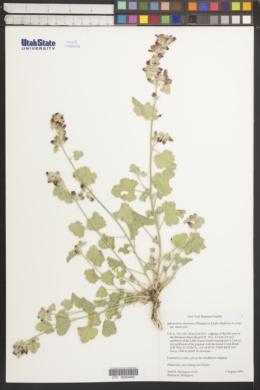 Sphaeralcea munroana image