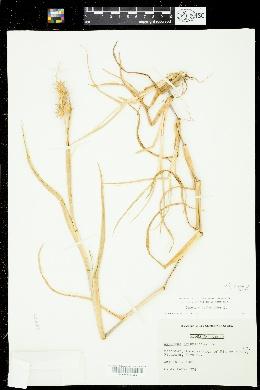 Cenchrus tribuloides image