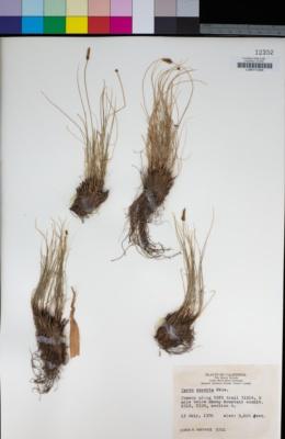 Image of Carex exserta