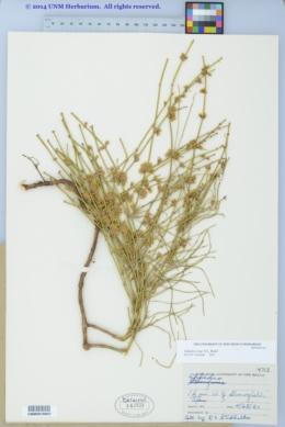 Ephedra coryi image