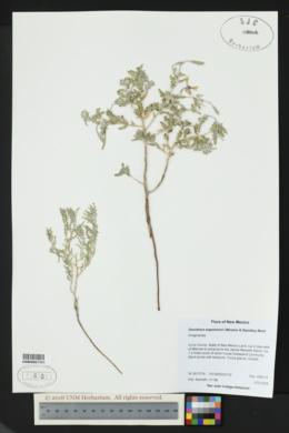 Image of Oenothera engelmannii