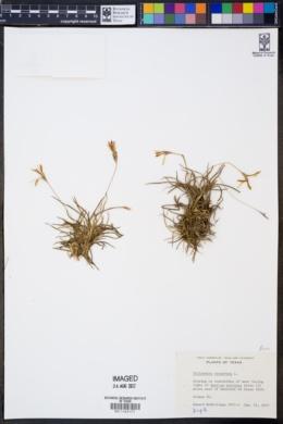 Tillandsia recurvata image