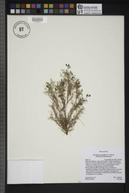 Image of Astragalus sesquiflorus