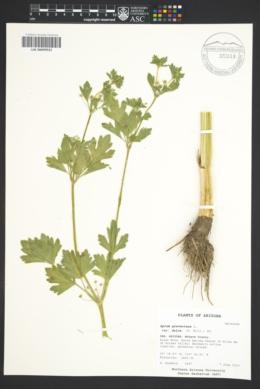 Image of Apium dulce