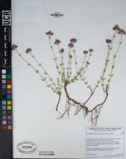 Image of Monardella beneolens