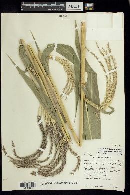 Tripsacum pilosum image